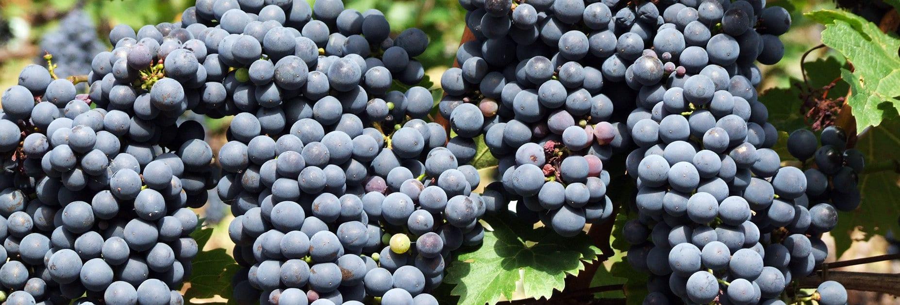 Cabernet Sauvignon – eine Traube mit Kraft