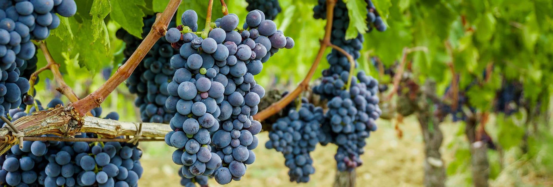 Sangiovese: die Traube für grosse Weine